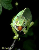 CH28-017z  African Chameleon - chameleon shooting out tongue for prey, front view - Chameleo senegalensis