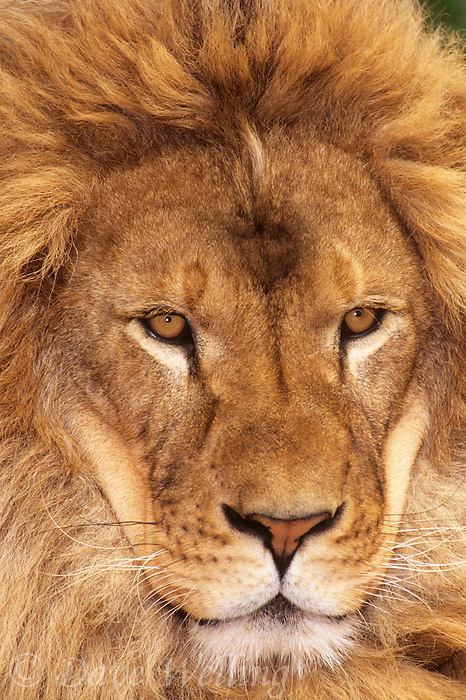 656259084 A head shot portrait of a spectacular, captive male African lion panthera leo with a huge mane. Animal is a wildlife rescue and is native to Africa.