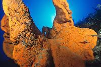 Orange Elephant Ear Sponge (Agelas clathrodes).Cane Bay.ST Croix, VI