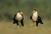 Crested Caracara, Caracara plancus, pair, Starr County, Rio Grande Valley, Texas, USA