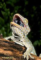 GK26-003x  Tokay Gecko - theatening intruder -  Gekko gecko