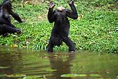 Bonobo female standing on her hands in water (Pan paniscus), Lola Ya Bonobo Sanctuary, Democratic Republic of Congo.