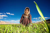 Taken in the village Korzok, situated on the bank of lake Tso Moriri in Ladakh, while this lady was plucking some vegetables from the wheat field...<br />