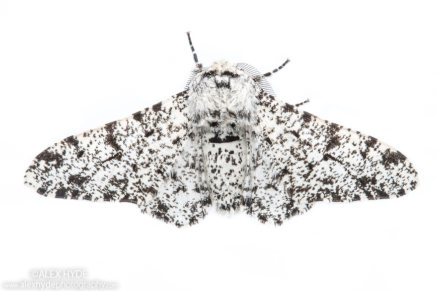 Peppered Moth {Biston betularia}. Photographed on a white background in mobile field studio. Peak District National Park, Derbyshire, UK. June.