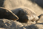 Northern elephant seal pup flipping sand at Ano Nuevo State Reserve, CA.  Keeping cool.