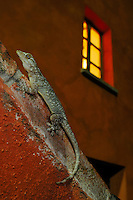 A Moorish Wall Gecko (Tarentola mauritanica) on the wall of a house.