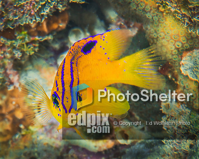28 January 2016:  A juvenile Longfin Damselfish (Stegastes diencaeus) inhabits the reef at Captain Don's Habitat in Bonaire. Bonaire is known for its pioneering role in the preservation of the marine environment. A part of the Netherland Caribbean Islands, Bonaire is located off the coast of Venezuela and offers excellent scuba diving, snorkeling and windsurfing.  Mandatory Credit: Ed Wolfstein Photo *** RAW (NEF) Image File Available ***