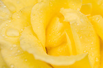 Santa Barbara, California, a detail view of a yelllow rose flower with morning dew drops on the petals