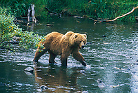 Brown bear sow fishes along stream edge, Kodiak, Alaska