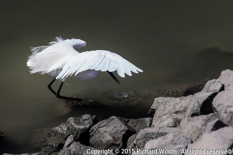 A Snowy egret spreads it wings for balance while dipping its bill in search of food at the San Leandro Marina.