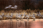 Sandhill Cranes, New Mexico