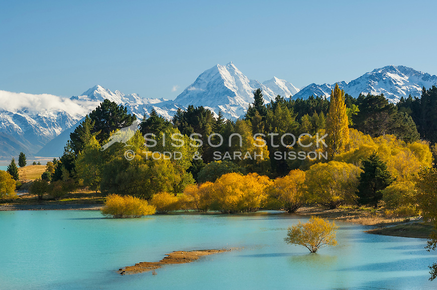 Image of drowned golden willow trees  on the shores of Lake Pukaki. Aoraki Mt Cook towering in background. Mackenzie Country, South Canterbury South Island New Zealand.