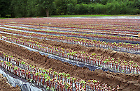 Vine nursery with newly grafted plants. Touraine, Loire, France