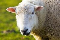 Sheep, Gloucestershire, England, United Kingdom