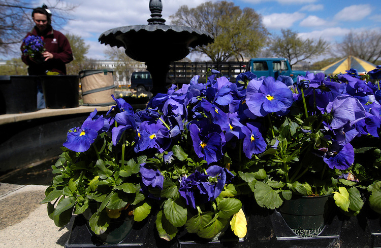 Smithsonian Horticulture Services Division employee Shelly Gaskin plants Pansies on a fountain at the Katherine Dulin Folger Rose garden next to the Smithsonian Castle.