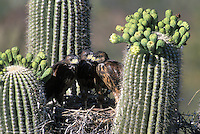 Harris Hawk fledglings in nest in Saguaro; Sonoran Desert, Arizona