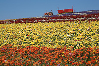 Tractor pulling tourist tram in rows of colorful ranunculus bulb flowers in agriculture field at The Flower Fields, cut flower farm, display garden San Diego (Carlsbad) California