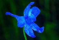 145860002 a rare wild blue larkspur subspecies delphinium parryi v blaochmanae covered in rain drops blooms in a small shaded area in san luis obispo county california