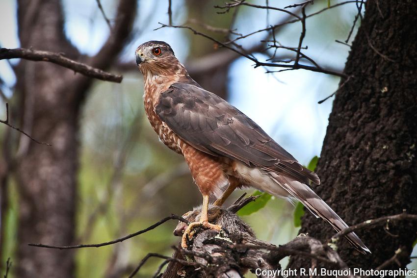 Cooper's Hawk with squirrel