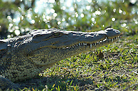 Nile crocodile (crocodylus niloticus) basking in the sun close to the river.<br /> Moremi, Botswana.<br /> September 2007.