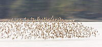 Intentional motion blur of Western Sandpipers (Calidris mauri) flyng over Hartney Bay in Cordova during their spring migration through Southcentral Alaska. Afternoon.