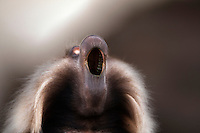 Gelada male yawning (Theropithecus gelada), Simien Mountains National Park, Ethiopia.