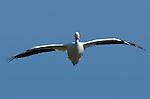 White Pelican in Flight (head-on), American White Pelican, Sepulveda Wildlife Refuge, Southern California