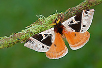 Saturniidae Moth (Dirphia horcana), Costa Rica