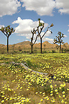 Desert dandelions provide a carpet for Joshua trees in Joshua Tree National Park California.