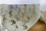 Pterapogon kauderni  emball&eacute;s pour l'exportation vers les aquariums du monde entier<br /> <br /> Poisson cardinal des iles Banggais, Pterapogon kauderni. End&eacute;mique des &Icirc;les Banggais, ce poisson poss&egrave;de une aire de r&eacute;partition tr&egrave;s limit&eacute;e pour un poisson marin. Depuis quelques ann&eacute;es, il subit une forte pression de la p&ecirc;che pour le commerce de l'aquariophilie (plusieurs milliers de poissons sont captur&eacute;s chaque mois) ce qui a conduit cette esp&egrave;ce en 2007 a &ecirc;tre class&eacute;e dans la cat&eacute;gorie Endangered sur la liste rouge de l'UICN. village de Bonebaru sur l'ile Banggai dans les Sulawesis en Indon&eacute;sie - Mission Banggai Cardinal Fish, Mai 2008, Act for Nature - Musee oceanographique de Monaco