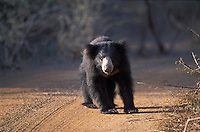 A sloth bear pauses on his way to water, during the height of the drought in August.