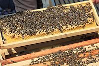 Un cadre de couvain d'une ruche moderne. Dans une colonie, la reine pond ses œufs au centre des cellules d'un cadre de cire gaufrée. Autour, les abeilles stockent le miel et le pollen pour nourrir les larves.///A brood frame in a modern hive. In a colony, the queen lays her eggs in the center of the cells of a crimped wax frame. Around it, the bees store the honey and pollen to nourish the larvae.
