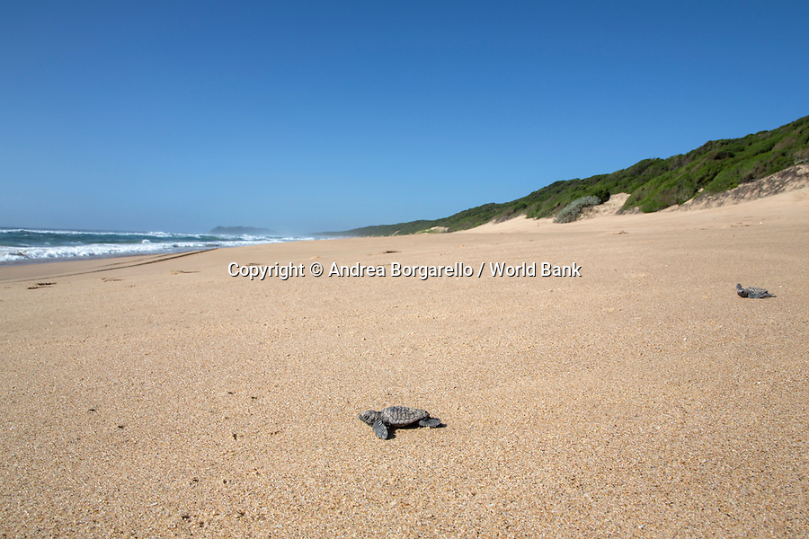 Marine Reserve of Ponta do Ouro.<br /> Maputo province, Mozambique.<br /> <br /> These just born turtles trying to reach the sea, with the help of rangers, against natural hazards such as crabs and birds.