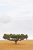 Oak tree in Alentejo