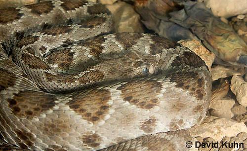 0421-1002  Santa Catalina Island Rattlesnake, Endangered Species, Crotalus catalinensis  © David Kuhn/Dwight Kuhn Photography.