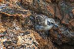 Galapagos mockingbird (Mimus ssp.) Galapagos Islands, Ecuador