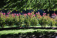 Rose bed, Queenstown Gardens, New Zealand, 201004063740..Copyright Image from Victor Patterson, 54 Dorchester Park, Belfast, UK, BT9 6RJ..Tel: +44 28 9066 1296.Mob: +44 7802 353836.Voicemail +44 20 8816 7153.Skype: victorpattersonbelfast.Email: victorpatterson@mac.com.Email: victorpatterson@ireland.com (back-up)..IMPORTANT: If you wish to use this image or any other of my images please go to www.victorpatterson.com and click on the Terms & Conditions. Then contact me by email or phone with the reference number(s) of the image(s) concerned.
