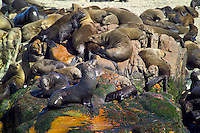 GANSBAAI, SOUTH AFRICA, DECEMBER 2004. The 40.000 seals of Dyer Island are high on the menu of the Great White sharks. Brian Mc Farlane organises Great White Shark cage diving tours out of Gansbaai. Gansbaai is one of the best places in the world to see the Great white in its natural habitat. Photo by Frits Meyst/Adventure4ever.com