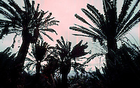 The cycad forest next to Modjadji's palace, 1989. Greg Mariovich.