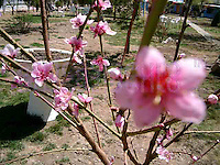 Lhasa blossoms