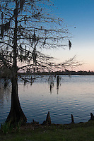 Bald Cypress tree with visible roots covered with Spanish Moss at the shore of a small lake at the Louisiana Welcome Center in Southwest Louisiana.