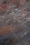 wild grasses on Santiago Island in the Galapagos National Park, Galapagos, Ecuador, South America