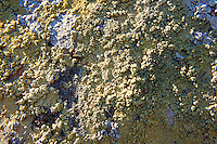 Lichens growing on rocks