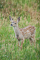 Mule deer fawn in Wyoming
