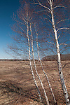 Three birches in the Rough Meadows Wildlife Sanctuary