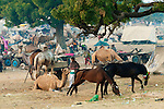 Camels and horses as livestock at the Pushkar Fair, India.