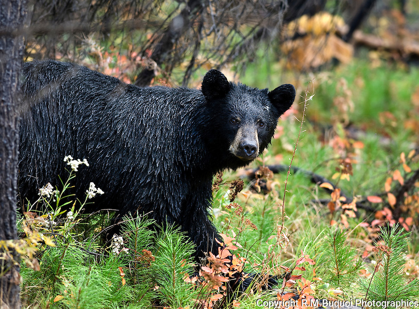 Black Bear, Glacier National Park