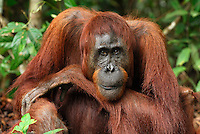 Female Borneo Orangutan (Pongo pygmaeus), Camp Leaky, Tanjung Puting National Park,  Kalimantan, Borneo, Indonesia.