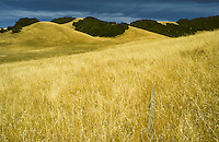 Summer rolling hills of northern california with dry grasses and evergreen trees