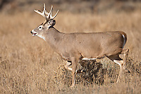 Wyoming whitetail buck during the fall rut